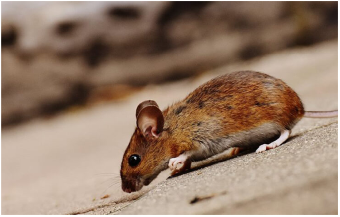 Methods for DIY Mouse Removal in Vancouver